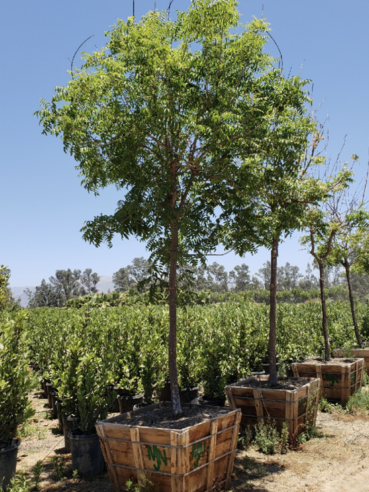 Hedge Tree - Mejia's Nursery