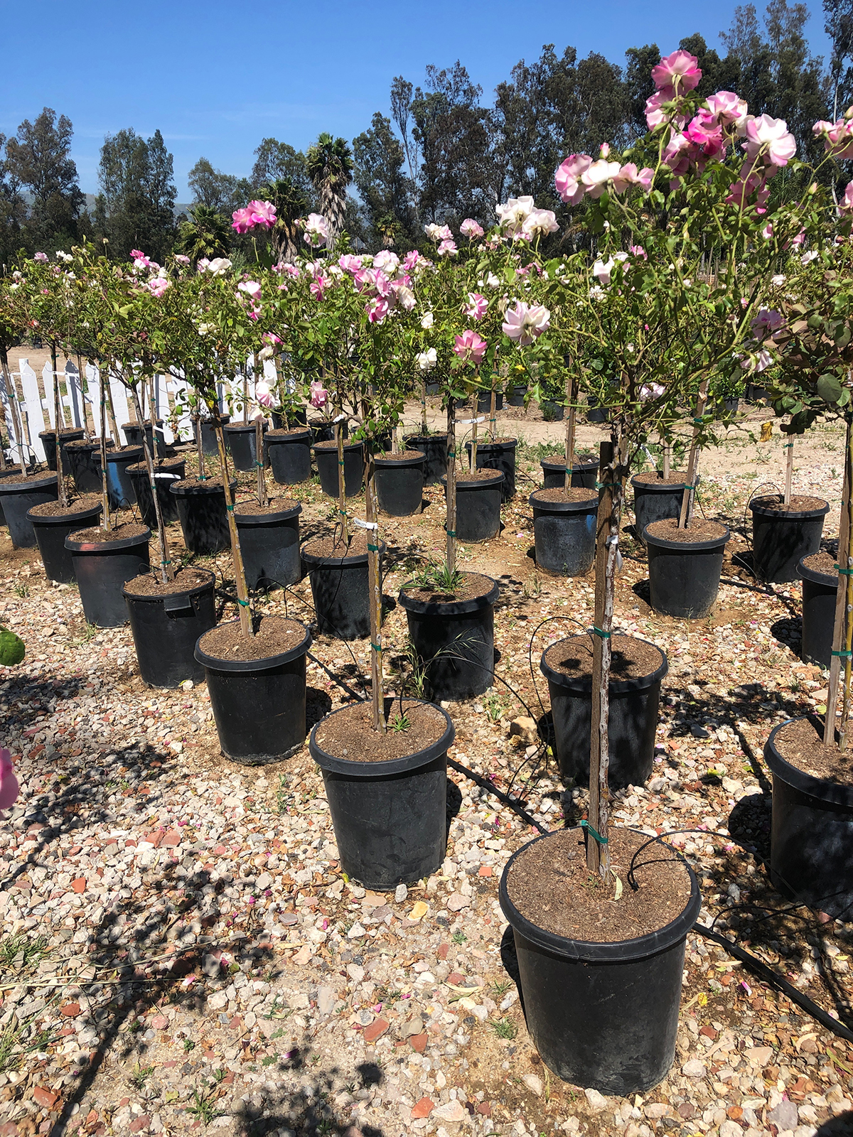 Rose Trees- Mejia's Nursery