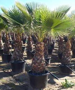 Sago Palms - Mejia's Nursery