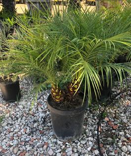 Pygmy Date Palm - Mejia's Nursery